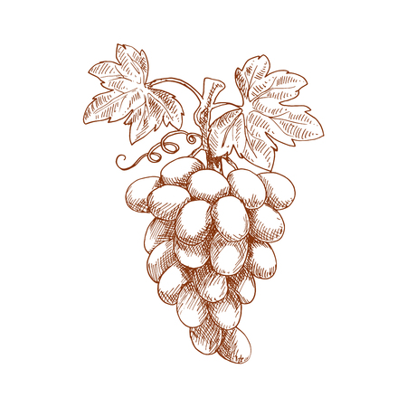 tendril: Ripe bunch of sweet juicy grape fruit on curved grapevine with leaves and tendril. Sketch style vector for vineyard or winery emblem, healthy dessert food or agriculture themes