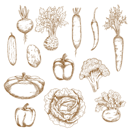 food illustration: Sketch vegetables icons of cabbage Illustration