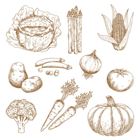 greengrocery: Hand drawn sketches of farm sweet corn, onion, tomato, broccoli, carrots, green pea, cabbage, pumpkin and asparagus vegetables. Greengrocery market, agriculture, harvest, recipe book or vegetarian food design usage