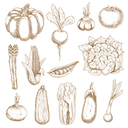 food illustration: Ripe farm tomato and corn, onion and garlic, eggplant and beet, pumpkin and chinese cabbage, zucchini and pea pod, cauliflower and asparagus vegetables. Sketches in vintage engraving style