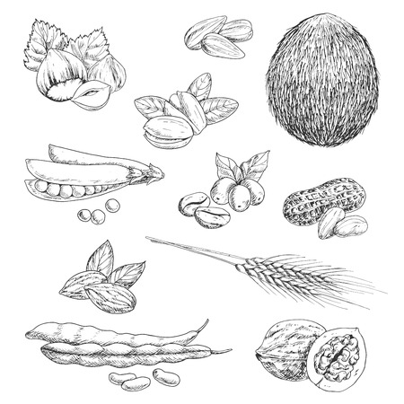 Healthful nutritious peanut and hazelnut, coffee beans and whole coconut, pistachios and almond, pea pod and walnut, beans and wheat ears, sunflower seeds. Sketch icons for healthy food and agriculture design