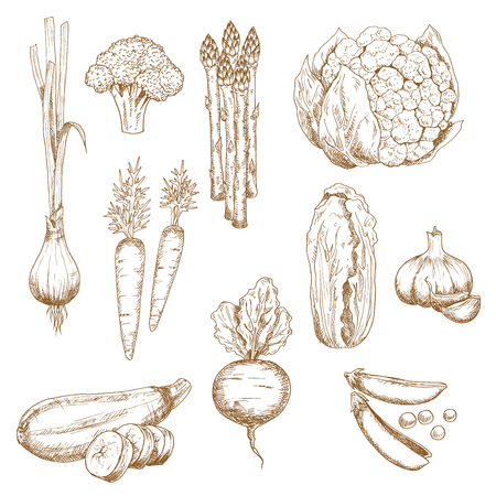 sweet pea: Vintage sketches of farm fresh carrots, garlic cloves and onion, sweet pea and broccoli, zucchini and cauliflower, asparagus and chinese cabbage vegetables. Use as restaurant menu, recipe book, vegetarian food or agriculture themes Illustration