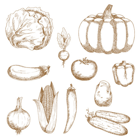 cabbage: Retro sketches of organic farm cabbage and tomato, chilli and bell peppers, eggplant and onion, sweet corn and cucumber, beet, pumpkin and potato vegetables. Great for vegetarian recipe, agriculture or cooking design Illustration