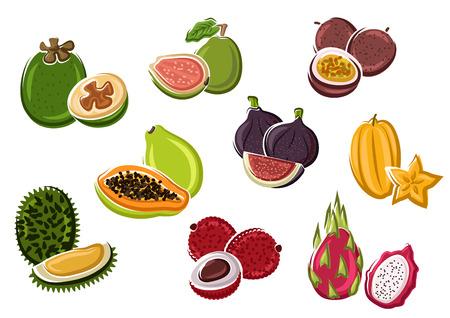 frutas: Exótico papaya tropicales frescas y fruta de la pasión, higo y lichi, pitaya y feijoa, carambola, guayaba y fruta durian en estilo de dibujos animados. Postre receta, comida natural o cóctel tropical el uso del diseño Vectores