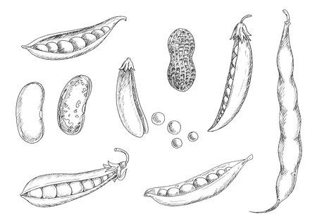 Pożywne świeże orzeszki ziemne w skorupkach, otwarte i zamknięte strąków groszku, nerek i fasola pinto z suszonych ziaren. Szkic ikony strączkowych dla rolnictwa, żniwa, wegetariańskim jedzeniem lub gotowania tematu projektu