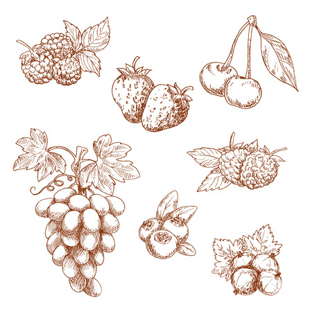 blackberries: Fruits and berries engraving sketch icons with sweet fragrant strawberry and raspberry, cherry and grape grape, blueberry and gooseberry, blackberries with leaves. Old fashioned recipe book, dessert menu decoration or vegetarian food themes Illustration