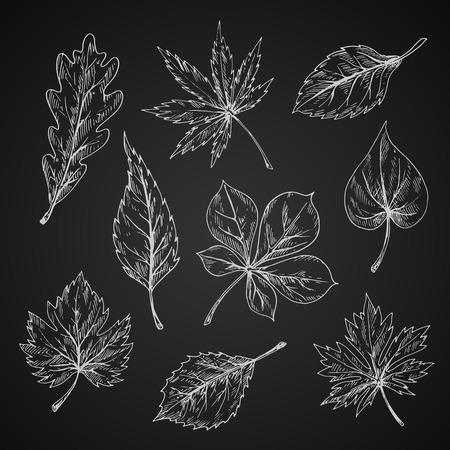 elm: Leaves chalk sketches of maple and oak, birch and chestnut, elm and beech foliage on chalkboard. Nature, ecology or seasonal theme design