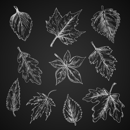 sycamore: Chalk leaves of trees and bushes on chalkboard with foliage of birch and oak, striped and sugar maples, chestnut and beech, sycamore and elm, cherry and hawthorn. Sketch style Illustration