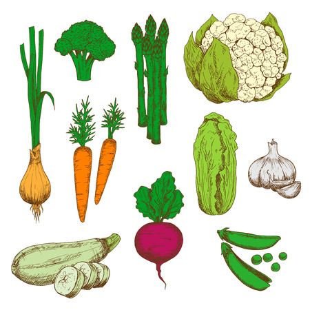 asparagus: Vegetables color sketches for agriculture design with green onion, carrot, broccoli and zucchini, green pea and cauliflower, beet and garlic, chinese cabbage and asparagus Illustration