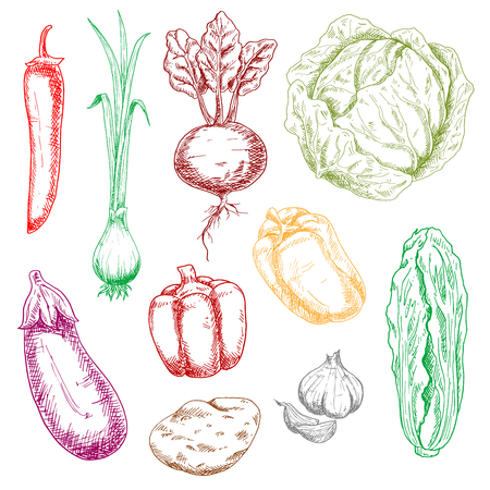 nappa: Color vector sketches of farm vegetables with cabbage and spring onion, chilli and bell peppers, garlic and eggplant, potato and beet, chinese cabbage. Retro stylized menu, market, recipe book or kitchen accessories themes