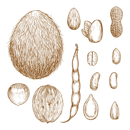 pumpkin seeds: Whole and peeled nuts, beans and seeds vintage sketches. Peanut and hazelnut, coffee beans, almond and coconut, pistachio and walnut, sunflower and pumpkin seeds, pod and grains of common bean. Recipe book and agriculture design usage Illustration