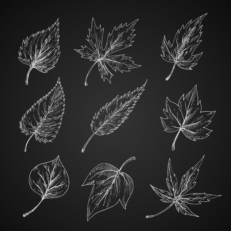 trees seasonal: Trees and bushes leaves chalk sketches on blackboard with detailed arrangement of veins and shapes of margins. Stylized engraving foliage for nature, ecology, seasonal theme Illustration