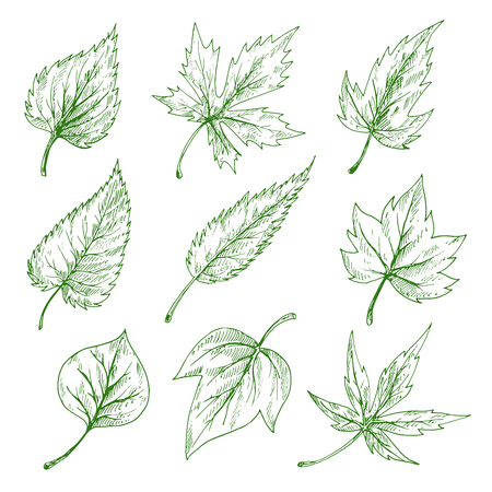 sycamore: Green leaves sketches of maple and birch, elm, willow and sycamore trees. Nature, botany and ecology themes