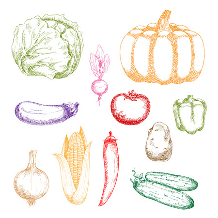 bell tomato: Colorful sketches of green cabbage, bell pepper and cucumbers, corn cob and onion bulb, violet eggplant, red tomato and chilli pepper, orange pumpkin, brown potato and purple beet vegetables