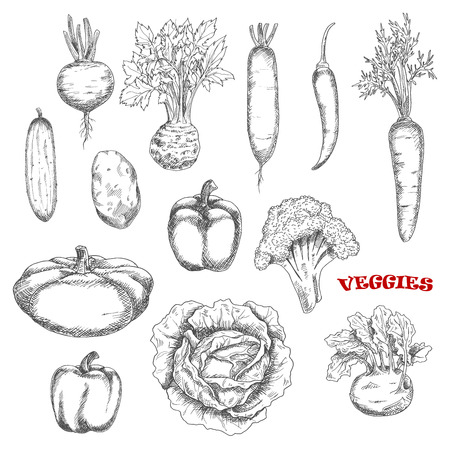 cayenne: Healthful broccoli and carrot, cabbage and cucumber, hot cayenne and sweet bell peppers, kohlrabi and potato, beet and radish, celery and pattypan squash vegetables sketches. Farming, agriculture theme, cooking or kitchen interior design usage