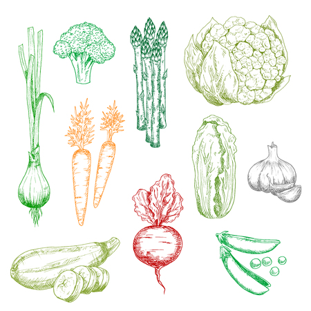 napa: Sweet carrot and green onion, broccoli and pea, chinese cabbage, zucchini asparagus and cauliflower, garlic and red beet vegetables. Color sketches for vegetarian food, farming, agriculture harvest themes