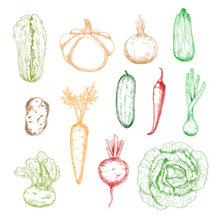 wholesome: Sketches of wholesome carrot and onion, cabbages and potato, cucumber and chilli pepper, zucchini and beet, kohlrabi, scallion and pattypan squash vegetables. For kitchen interior, agriculture harvest or recipe book themes design Illustration