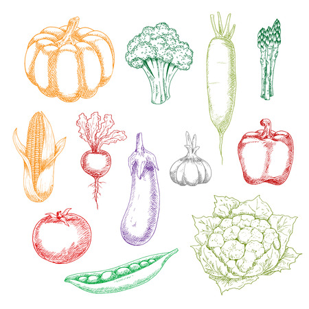 wholesome: Fresh harvested wholesome broccoli and eggplant, tomato and bell pepper, corn and green pea, garlic and pumpkin, asparagus and cauliflower, beet and daikon vegetables sketches. Agriculture, cooking or recipe book themes Illustration