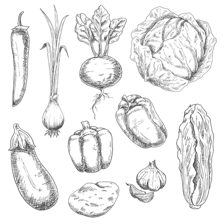 greengrocery: Farm fresh crunchy cabbages, sweet bell peppers and beet, potato, pungent garlic and green onion, eggplant, hot cayenne pepper vegetables sketch drawing icons. Nice as agriculture and vegetarian food design