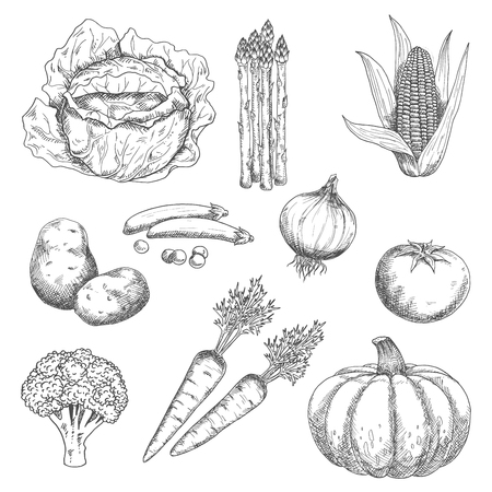 corn: Farm vegetables engraving stylized sketches
