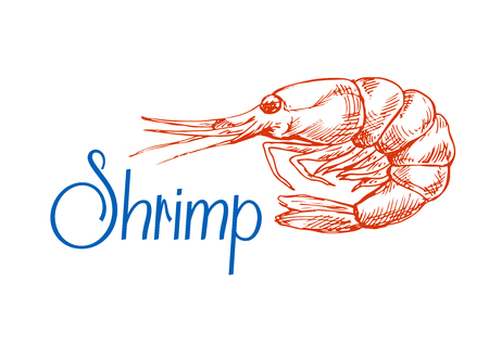 shrimp cocktail: Red marine shrimp or prawn sketch in vintage engraving style. May be use in seafood menu or recipe book design Illustration