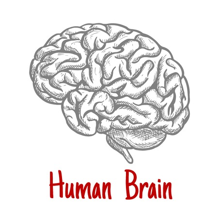 brainstem: Vintage engraving sketch of human brain with anatomically detailed brainstem and hindbrain. Medicine, science or brainstorm concept