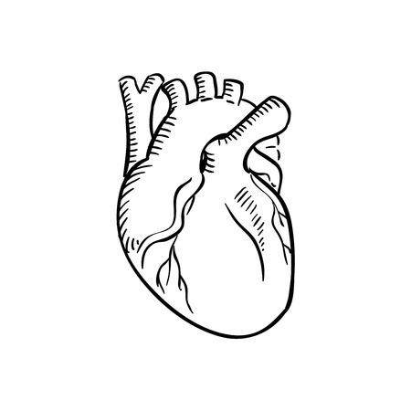 人間の心の輪郭スケッチ。ヒトの循環器系の医療、循環器、解剖学または別の医学のテーマのデザインの解剖学的詳細な器官は分離