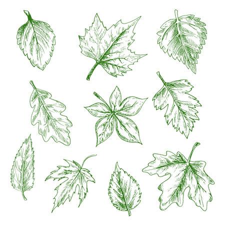 feuille arbre: Esquissés feuilles d'arbres verts de l'érable et le chêne, le bouleau et l'orme dans le style de gravure rétro. Nature et saisonniers thèmes