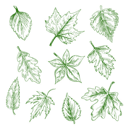 elm: Sketched green tree leaves of maple and oak, birch and elm in retro engraving style. Nature and seasonal themes