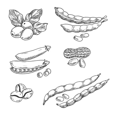 in peas: Coffee berries with leaves and roasted beans, pods of sweet pea and common beans, peanuts with dry shell sketches. Use in agriculture harvest, grocery market, vegetarian food and drinks themes design