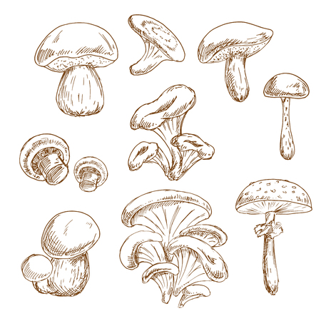 shiitake: Autumnal forest edible boletus and porcini, chanterelle and shiitake, champignons, oyster and poisonous amanita mushrooms vintage stylized sketches. Recipe book, vegetarian menu, food themes