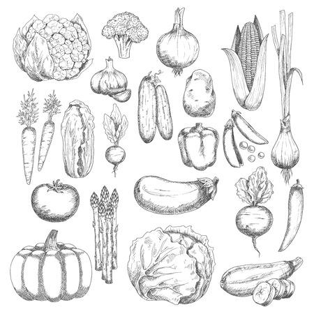 granja orgánica de brócoli fresco y maíz, guisantes y cebolla, berenjena y tomate, la zanahoria y la remolacha, la cayena y el pimiento, col y calabaza, ajo y pepino, patata y col china, coliflor y calabacín, rábano, espárragos y cebolla de verdeo verduras s Ilustración de vector