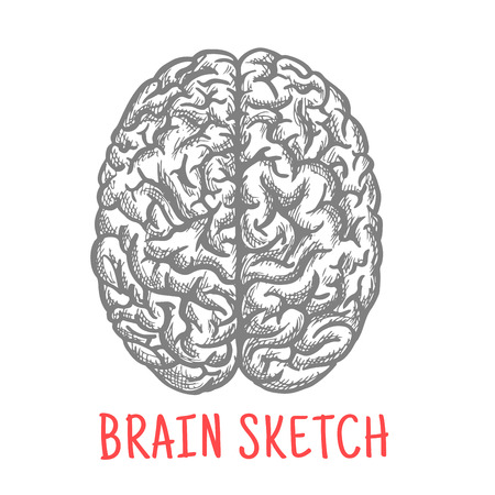 cortex: Sketch of human brain for medicine, anatomy or creative thinking theme design with engraving stylized right and left hemispheres of cerebral cortex