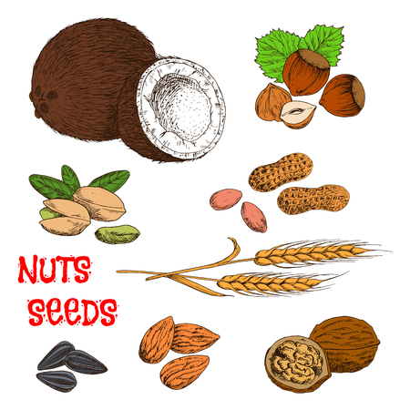 raw food: Nutritious raw and dried walnuts, almonds, peanuts, pistachios, hazelnuts, coconuts, sunflower seeds and wheat ears. Colorful sketches of nuts, seeds, beans and cereal for organic farming, healthy food or recipe book design usage Illustration