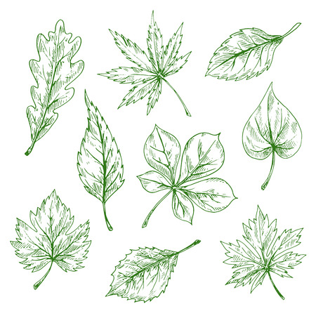 elm: Green leaves of forest and garden trees vintage engraving sketches with foliage of oak, maple, chestnut, cherry, grape, birch, elm and lilac. Great for nature or ecology theme design