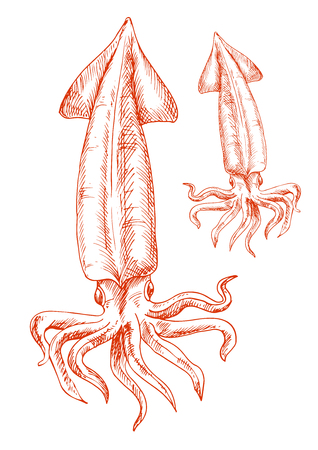red animal: Atlantic ocean red squid isolated sketch icon. Vintage engraving drawing of marine animal for seafood restaurant or aquarium mascot, t-shirt print or tattoo design
