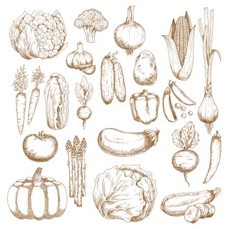 Tomaten, Karotten und Zwiebeln, Auberginen, Chili und Paprika, Mais, Brokkoli und Kürbis, Kohl, Gurken und Kartoffeln, Blumenkohl, Erbsen und Rüben, Zucchini und Knoblauch, Chinakohl, Lauch, Spargel und Radieschen Gemüse Skizzen