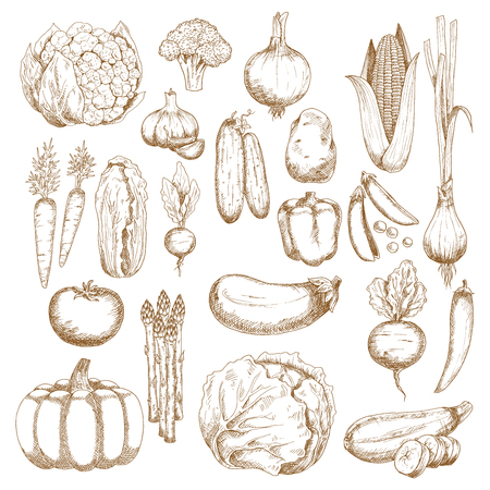 bell tomato: Tomato, carrots and onion, eggplant, chilli and bell peppers, corn, broccoli and pumpkin, cabbage, cucumbers and potato, cauliflower, pea and beet, zucchini and garlic, chinese cabbage, scallion, asparagus and radish vegetables sketches Illustration