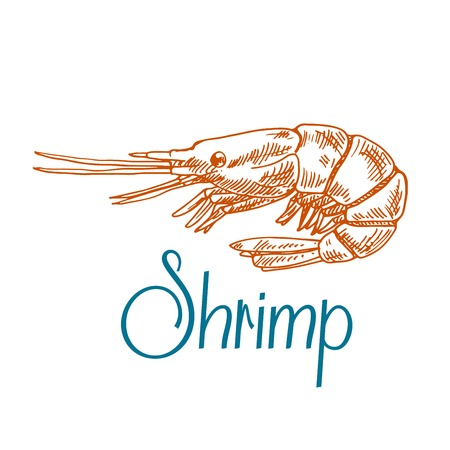 shrimp cocktail: Vintage engraving sketch icon of marine rock shrimp or prawn with short antennae and caption Shrimp. Underwater wildlife, seafood menu, old fashioned recipe book design usage