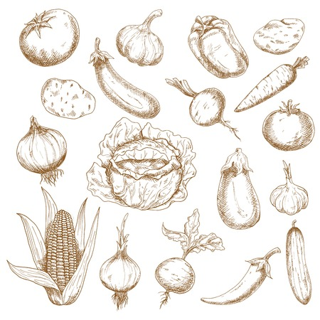 greengrocer: Autumn harvest retro sketches of cabbage, potatoes, tomatoes, heads of garlic, eggplants, onions, corn cob, cucumber, beets, carrot, cayenne and bell peppers vegetables. Agriculture, farming, greengrocer market, vegetarian food theme design usage
