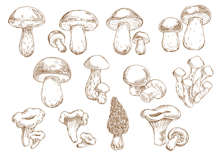 Vintage engraving sketches of edible mushrooms with isolated icons of boletus, cep, porcini, champignons, chanterelles, morel and honey agarics. Addition to old fashioned recipe book, vegetarian menu, kitchen interior accessories design