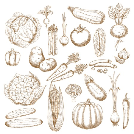 greengrocer: Cabbages, onion and tomato, pepper and potato, cucumbers, beet and broccoli, carrots, pumpkin and corn, eggplant, pea and cauliflower, zucchini, garlic and radish, scallion and asparagus vegetables sketch icons for agriculture design usage