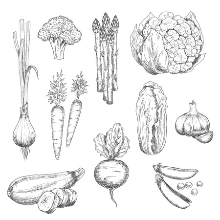 greengrocery: Organically grown fresh vegetables sketch for healthy vegetarian food or agriculture design with sweet crunchy carrots, peas and beet, spicy garlic and green onion, juicy asparagus, cauliflower and zucchini, ripe broccoli and chinese cabbage vegetables