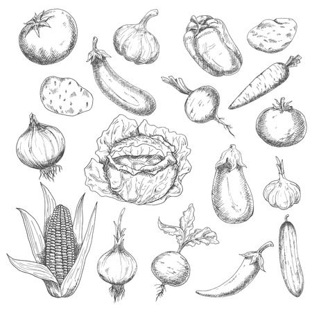 be: Retro sketch of fresh eggplants, tomatoes, chili and bell peppers, onions, potatoes, heads of garlic, carrot, beets, cucumber, cabbage and corn vegetables. May be use as organic farming, agriculture harvest or vegetarian menu design
