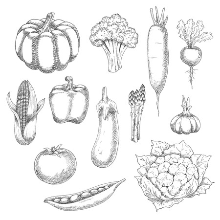 bell tomato: Eco food sketch illustration with organic farm broccoli, pumpkin, tomato, bell pepper, eggplant, corn, sweet peas, garlic, cauliflower, beet, asparagus and daikon vegetables. Old fashioned recipe book or agriculture theme design usage