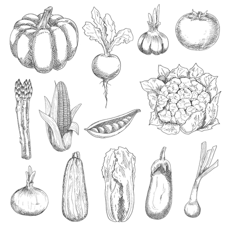 napa: Healthful locally grown fresh corn cob, tomato, sweet peas, garlic, eggplant, pumpkin, zucchini, beetroot, onion, chinese cabbage, cauliflower, scallion and asparagus vegetables engraving stylized sketches. Agriculture harvest and organic farming design u