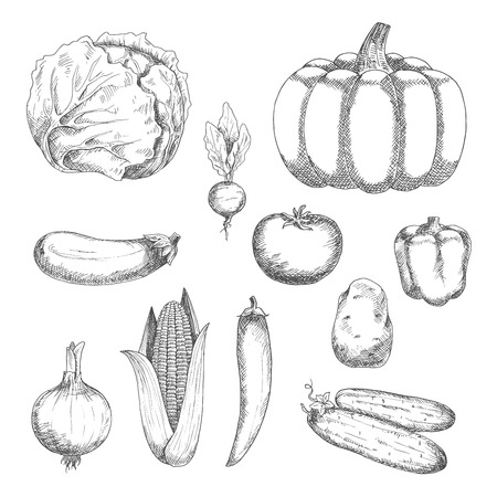 bell tomato: Fresh crunchy cabbage and cucumbers, ripe tomato, potato, eggplant and pumpkin, sweet bell pepper and corn, spicy chili pepper, onion and radish vegetables sketch icons. Organic farming or vegetarian salad recipe design usage