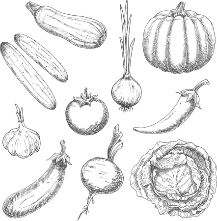 greengrocer: Wholesome organically grown farm vegetables sketch symbols with pumpkin, cabbage, garlic, onion, chili pepper, tomato, eggplant, cucumbers, beet and zucchini. May be use as old fashioned recipe book, vegetarian menu or agriculture design