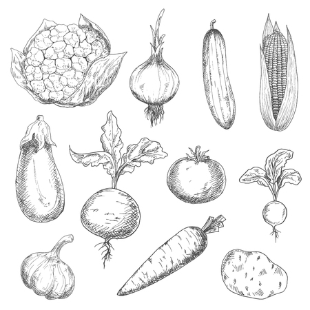 veggies: Farm fresh sweet corn, carrot and beetroot, ripe tomato and cauliflower, spicy onion, garlic and radish, tasty potato and eggplant, succulent cucumber vegetables sketches. Engraving stylized veggies for recipe book, vegetarian menu, agriculture harvest de Illustration