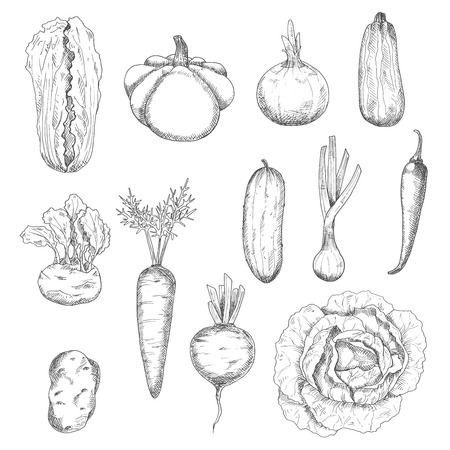 cayenne pepper: Freshly plucked selected cabbages, carrot, beetroot, onions, cayenne pepper, potato, cucumber, zucchini, kohlrabi and pattypan squash vegetables sketches. Healthy veggies for organic farming or kitchen interior accessories design usage Illustration